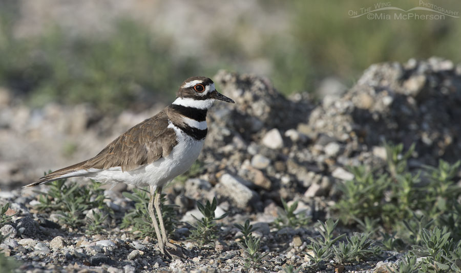 Adult Killdeer in breeding season