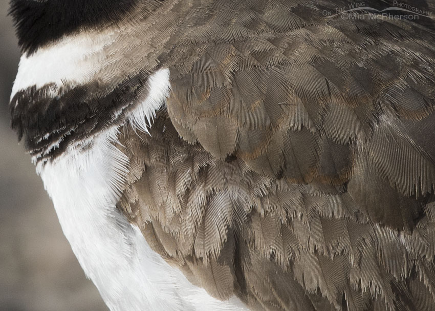 Killdeer plumage detail