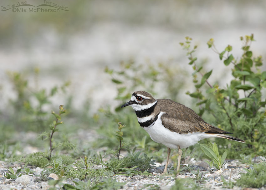 Roadside Killdeer