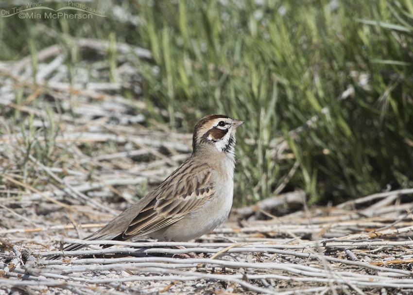 Adult Lark Sparrow