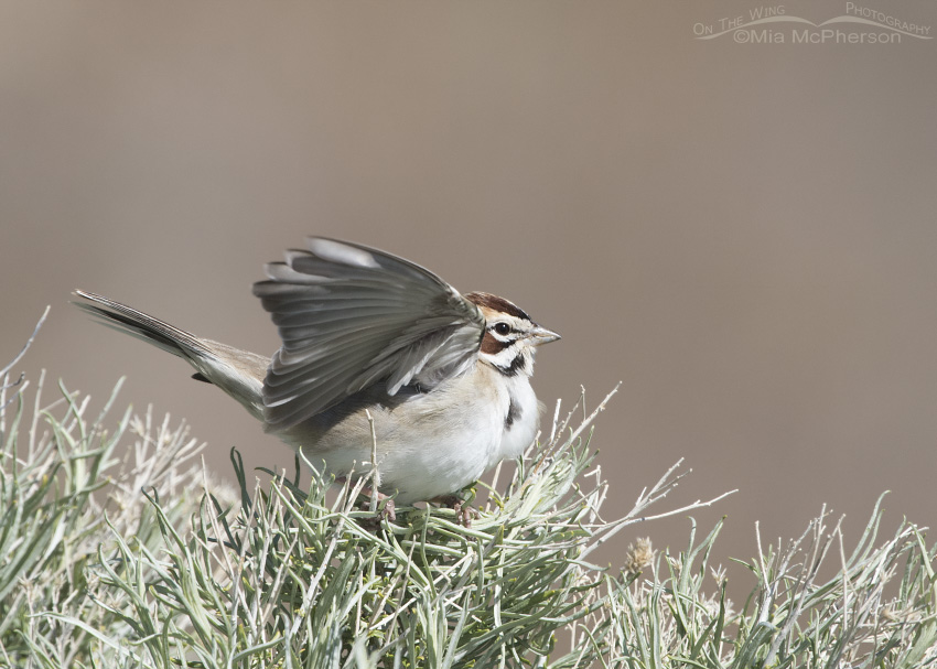 Lark Sparrow with raised wings