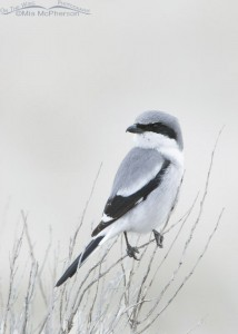 Loggerhead Shrike perched on a bush in low light