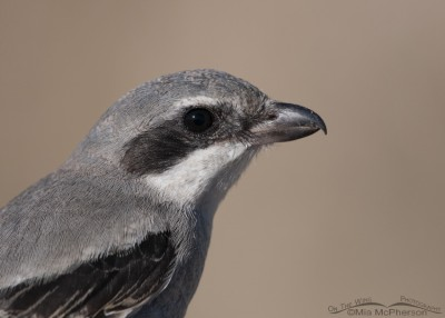 Loggerhead Shrike portrait August 2014