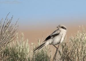Juvenile Loggerhead Shrike on Antelope Island