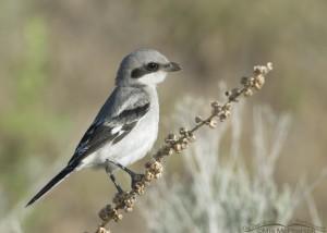 Juvenile Loggerhead Shrike on a dried Mullein stalk