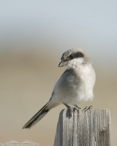 Juvenile Loggerhead Shrike on a post