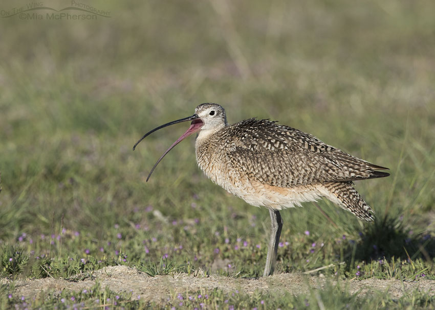 Male Curlew calling