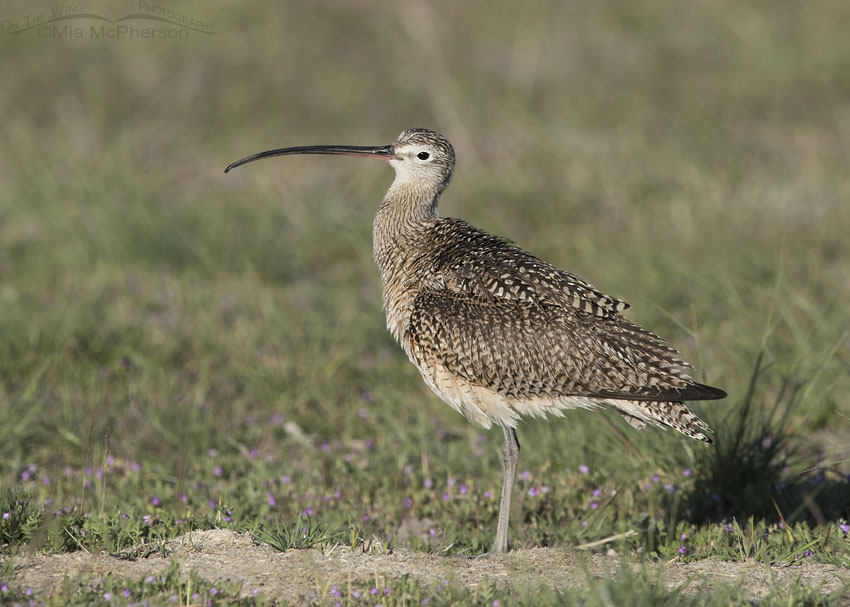 Male Long-billed Curlew in a field of grass and wildflowers
