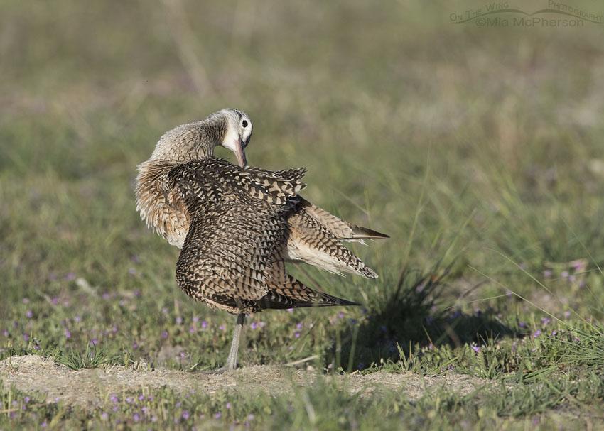 Preening Long-billed Curlew Male