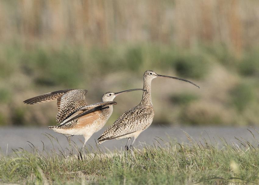 Long-billed Curlew Bill-stroking behavior