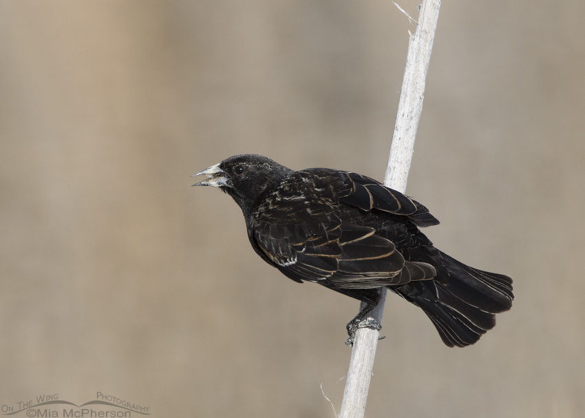 First spring male Red-winged Blackbird back view