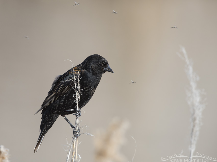 First spring male Red-winged Blackbird