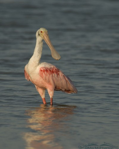 Roseate Spoonbill in a lagoon