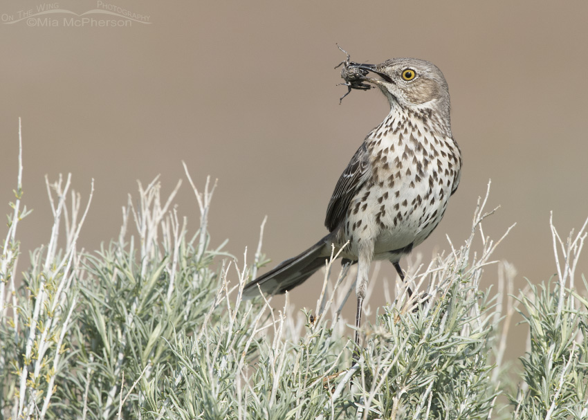 Sage Thrasher with grasshopper