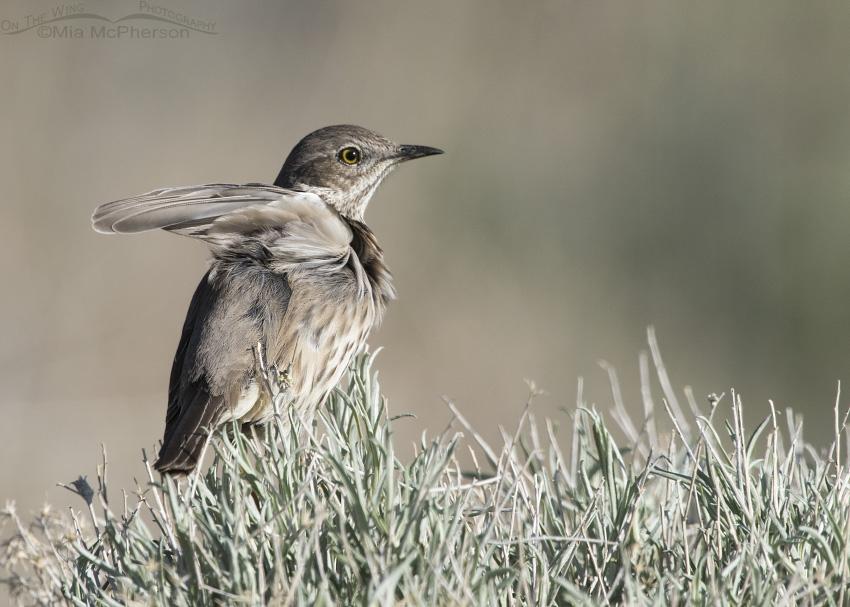 Sage Thrasher wing flutter