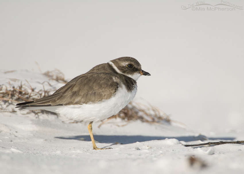 Semipalmated Plover looking at the sky