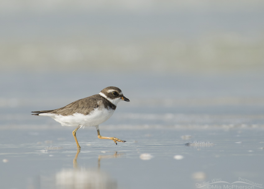 Low angle Semipalmated Plover