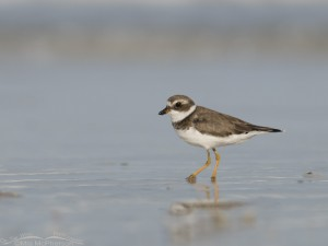 Semipalmated Plover with shimmering water