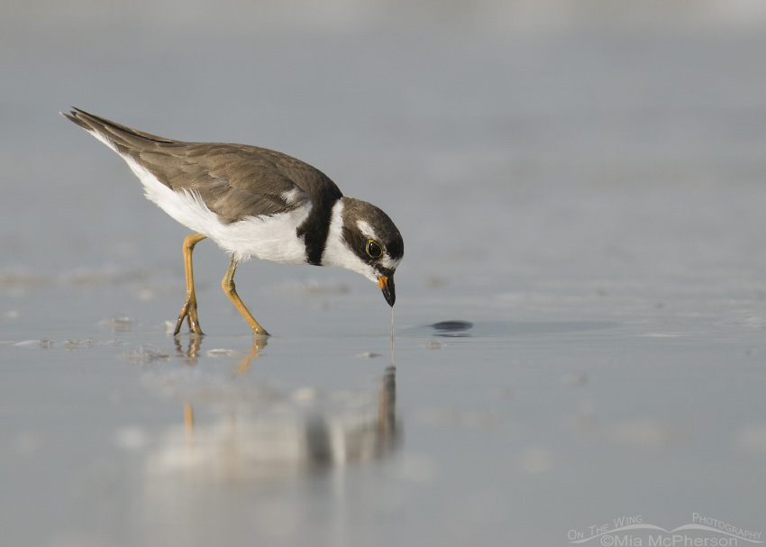 Semipalmated Plover with marine worm