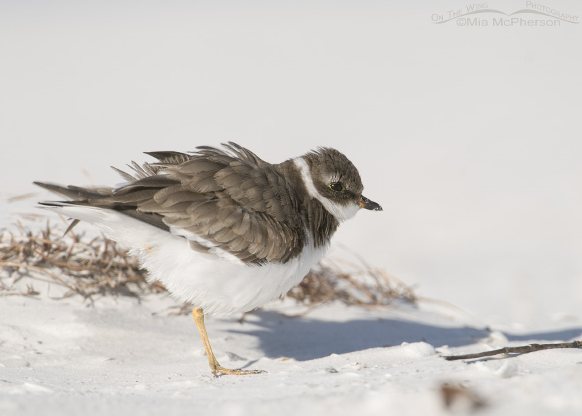 Semipalmated Plover shaking