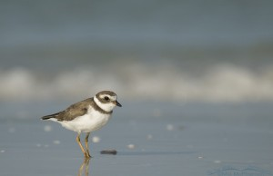 Semipalmated Plover on the Gulf shore