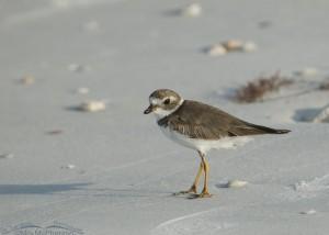 Honeymoon Island Semipalmated Plover