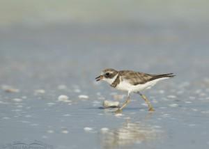 Semipalmated Plover with food