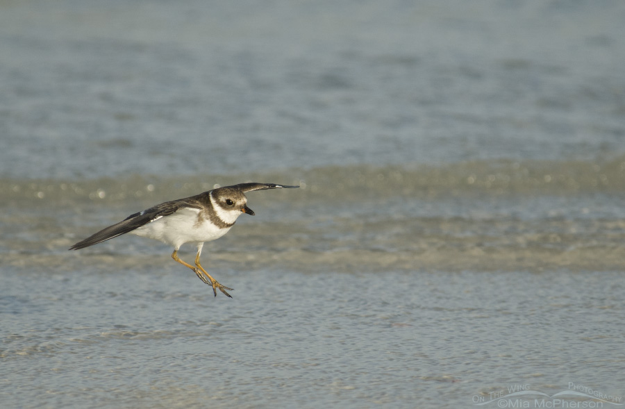 Landing Semipalmated Plover