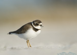 Semipalmated Plover with sandy beak