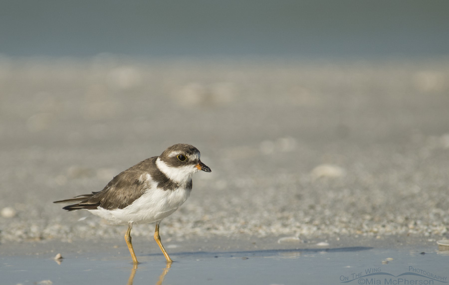Semipalmated Plover in a tidal pool