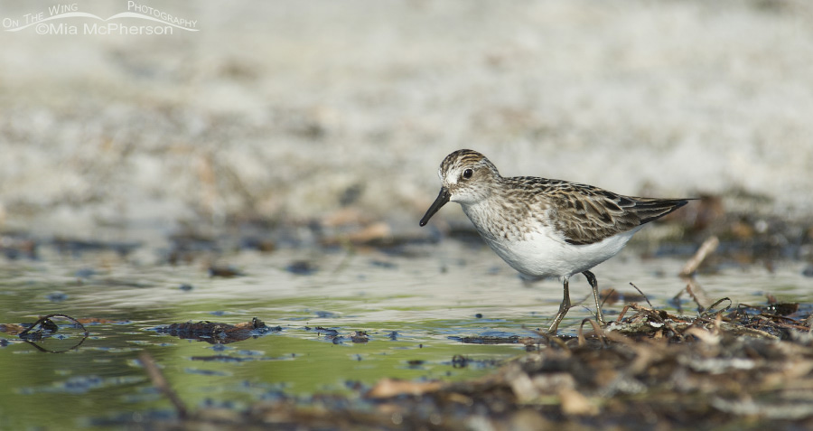 Low angle Semipalmated Sandpiper