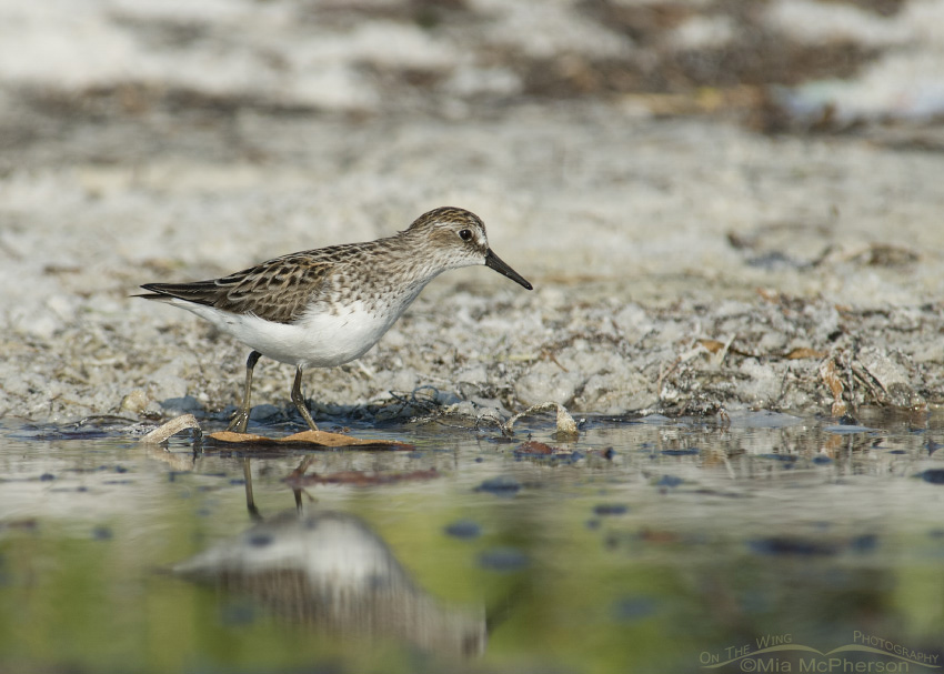 Semipalmated Sandpiper Images