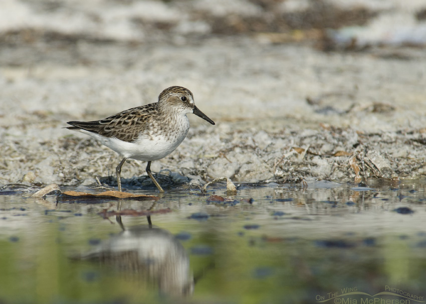 Semipalmated Sandpiper in spring plumage
