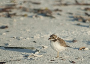 Semipalmated Plover near the wrack line