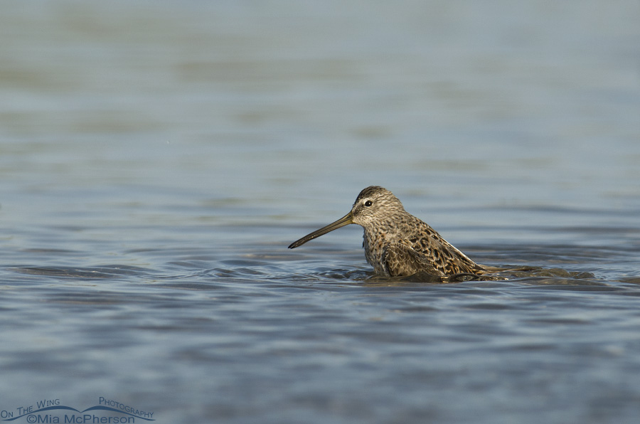 Short-billed Dowitcher bathing