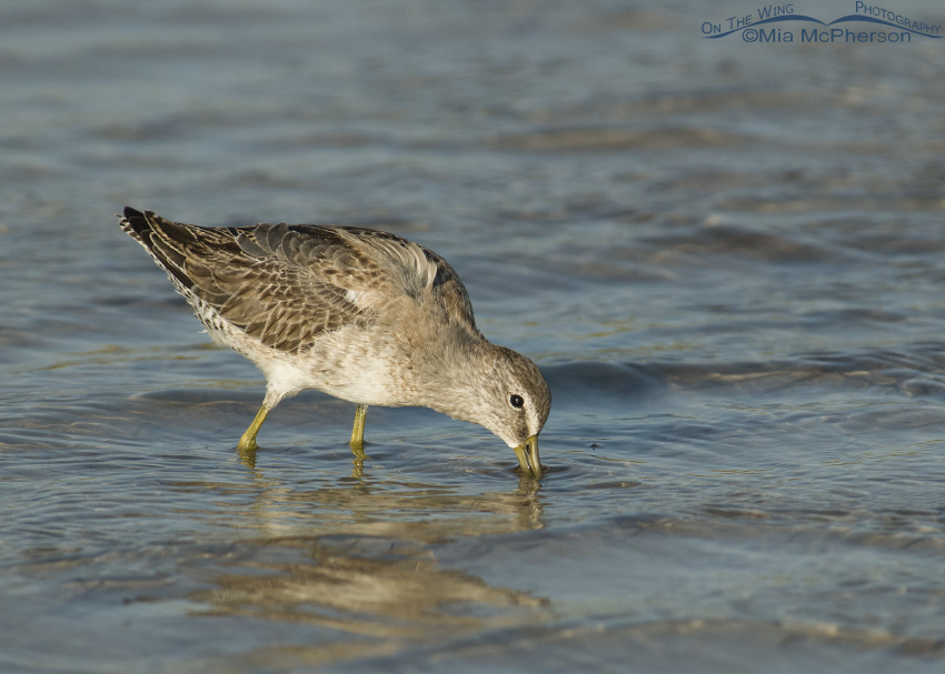 Feeding Short-billed Dowitcher