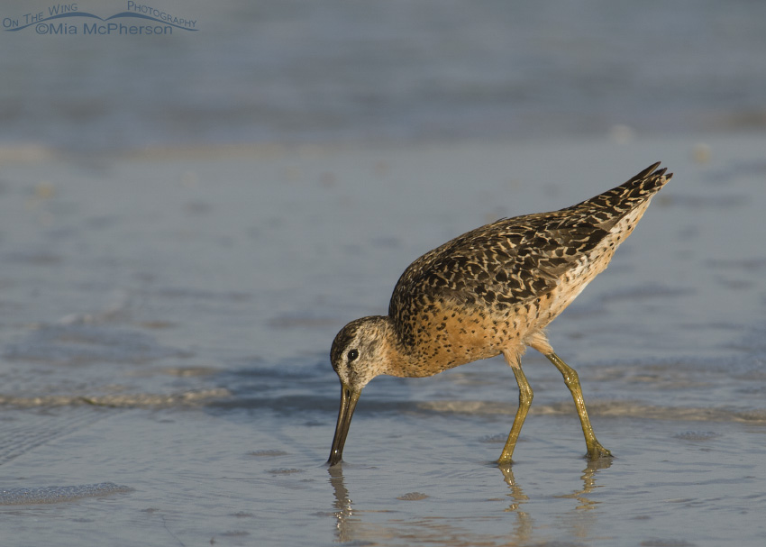Short-billed Dowitcher in breeding plumage