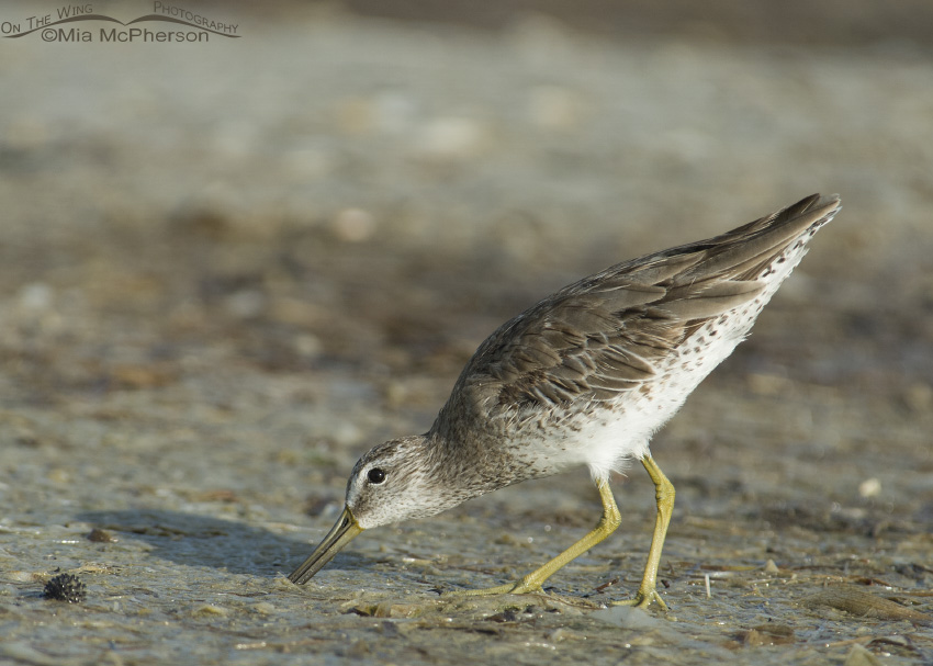 Short-billed Dowitcher probing for prey