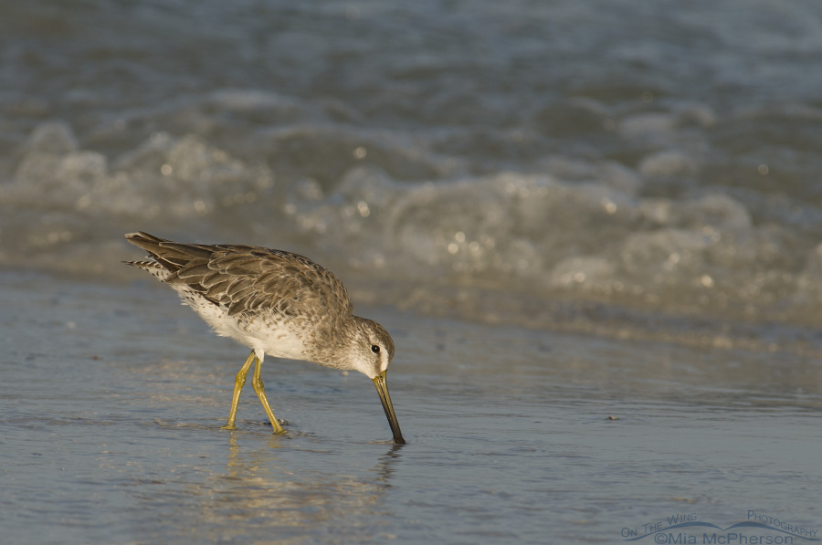 Gulf shore Short-billed Dowitcher