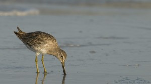 Low angle Short-billed Dowitcher
