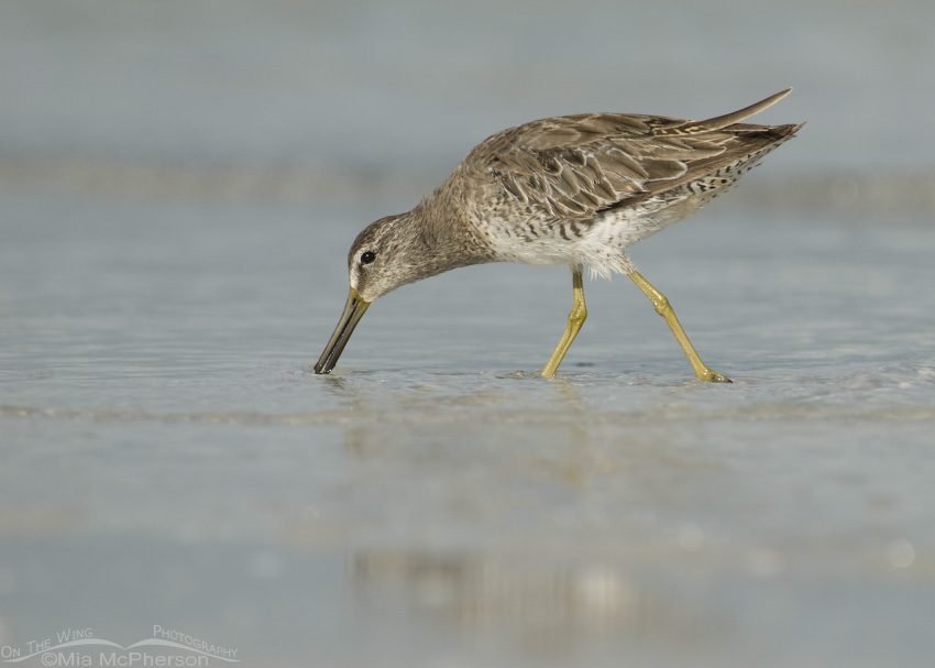 Gulf of Mexico Short-billed Dowitcher