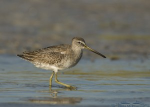 Short-billed Dowitcher in a lagoon