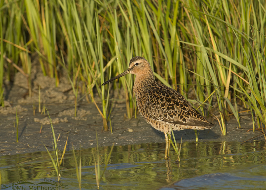 Short-billed Dowitcher in a marsh