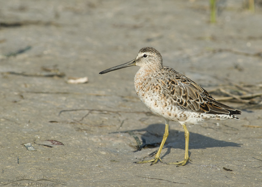 Mudflat Short-billed Dowitcher