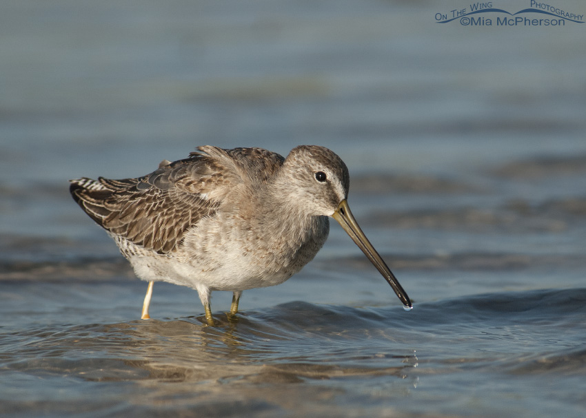 Short-billed Dowitcher pooping