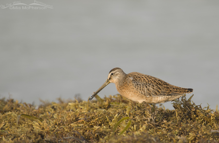 Short-billed Dowitcher in Sargassum