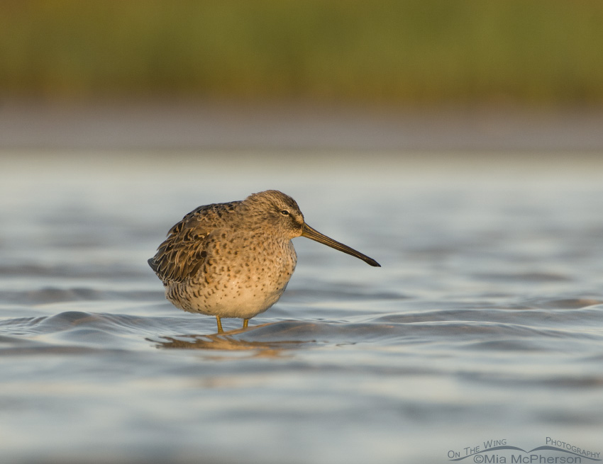 Sleepy Short-billed Dowitcher
