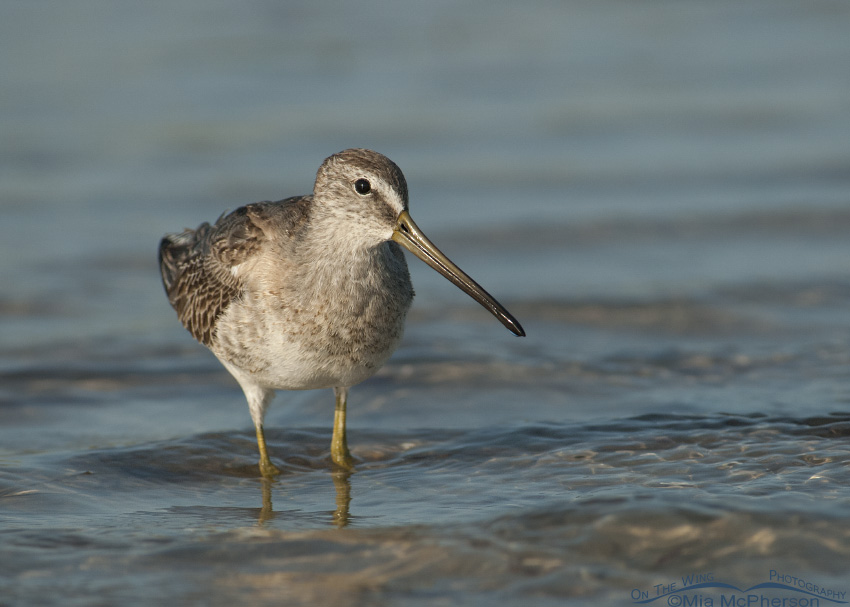 Short-billed Dowitcher Up Close