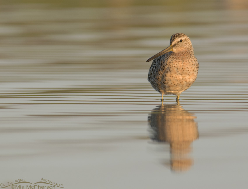 Side lit Short-billed Dowitcher