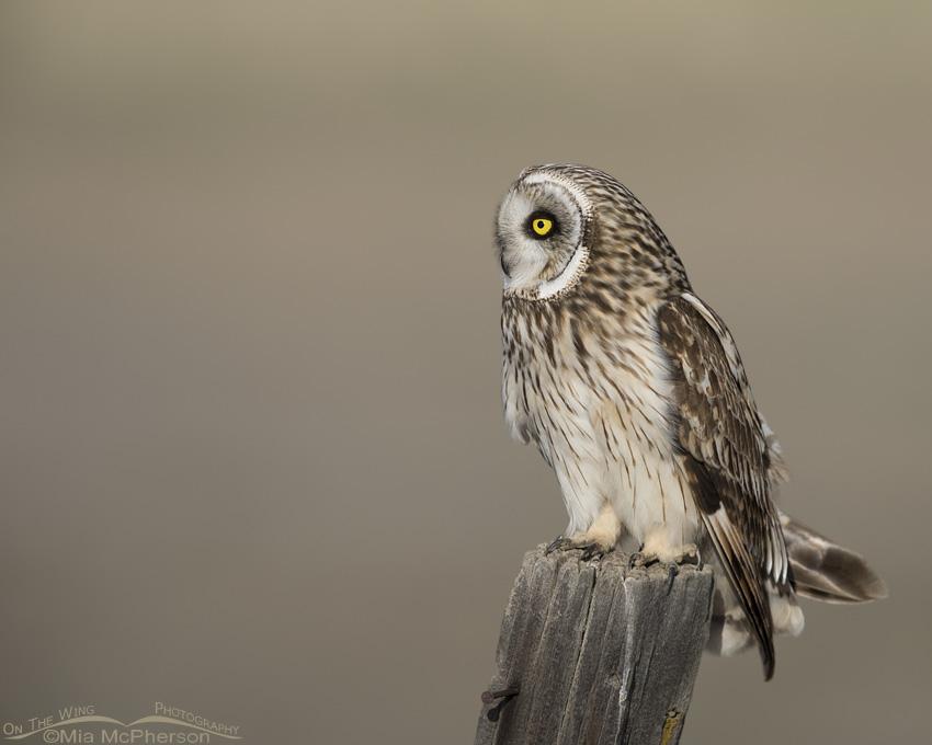 Male Short-eared Owl in profile